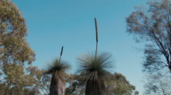 Grasstree (Balga plant) Plants Against the Blue Sky Stock Footage