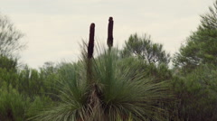 Grasstree (Balga plant) Growing Natively Stock Footage