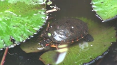 Cold blooded animal tortoise in water - stock footage