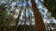 pine forrest with sunlight - stock footage