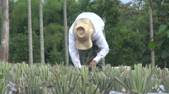 Farmer in a plantation gathering pineapples Stock Footage