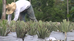 Farmer in a plantation gathering fruits Stock Footage