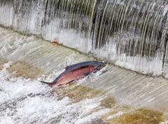 chinook coho salmon jumping issaquah hatchery washington state - stock photo