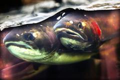 Fear chinook coho salmon close up issaquah hatchery washington state Stock Photos