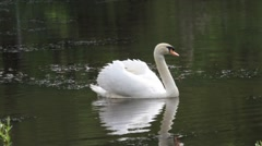 Swan swims right then turns around Stock Footage