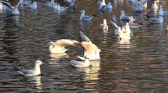 White seagulls in water Stock Footage