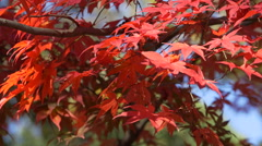 Red Maple Leaves in Autumn at Miidera Temple in Japan Stock Footage