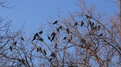 Crows in tree crown Stock Footage