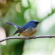 Male slaty-blue flycatcher Stock Photos