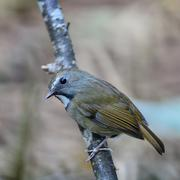 white-gorgeted flycatcher - stock photo