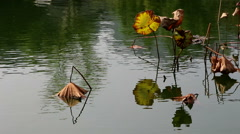 Wilted lotus leaf and stem in pond Stock Footage