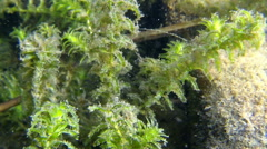 Underwater organic particles on waterweed leaves Stock Footage