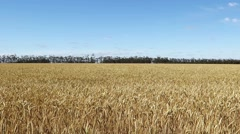 Field of golden wheat before harvesting on a farm Stock Footage