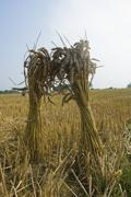two sheaves of wheat in a field in gloucestershire. - stock photo