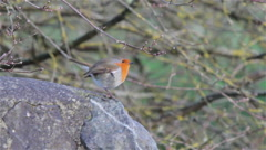 European Robin, Beautiful Bird chirping, flies from Stone Wall, Chudleigh, Devon Arkistovideo
