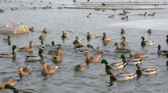 Ducks and drakes Stock Footage