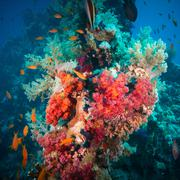 Vibrant pink soft coral (Dendronephthya hemprichi) Stock Photos