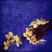 Prunus cerasifera in bloom - stock illustration