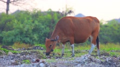 Cow Grazing On The Meadow - stock footage