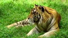 Tiger in a zoo - stock footage