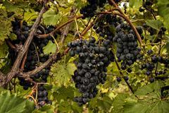 plump ripe grapes - stock photo