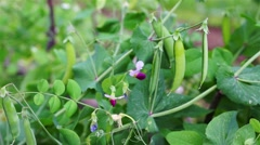 Green Sweet Pea Pod With Flower Dolly Shoot Stock Footage