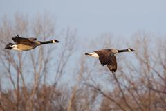 canadian goose flying - stock photo