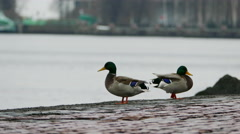 Two Ducks At Lake Embankment Stock Footage