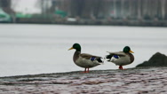 Stock Video Footage of Two Ducks At Lake Embankment