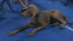 The Weimaraner,hunting dog breed lying and stand up,owner keeps him on a leash Stock Footage