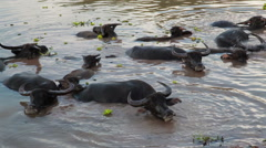 Crowd of Water buffalo wading and cooling down in the river or pond Stock Footage