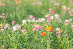 View of strawflower Stock Photos