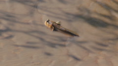 Mudskipper in mangrove forest Stock Footage