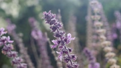Purple plant- close up Stock Footage
