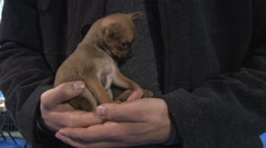 Young adult holding in arms and kissing Chihuahua puppy,hands close up Stock Footage