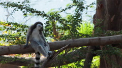 Ring-tailed Lemurs sitting on tree and looking around - stock footage