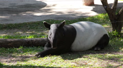 Malayan Tapir or Tapirus Indicus, lay down  for resting on green grass Stock Footage