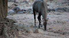 Nilgai antelope, science name:Boselaphus tragocamelus, foraging in the woods Stock Footage