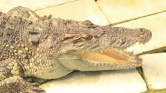 Close up head shot of large crocodile sleeping Stock Footage
