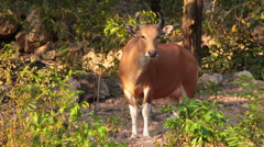 Banteng or Red Bull female stand and looking in forest Stock Footage