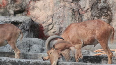 Barbary sheep in the zoo Stock Footage