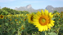 Sunflowers field in the wind - stock footage