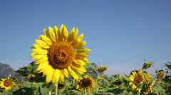 Sunflowers field in the wind Stock Footage