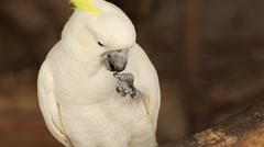 Stock Video Footage of Close-up White Cockatoo (Cacatua alba)