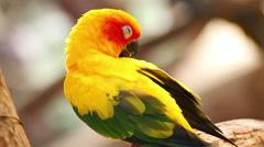 Colorful yellow parrot , Sun Conure (Aratinga solstitialis) Stock Footage