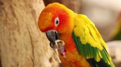 Colorful yellow parrot eating peanut, Sun Conure (Aratinga solstitialis) Stock Footage