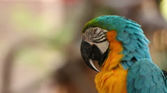 Parrot macaw blue and gold sleeping, closeup Stock Footage