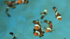 HD Footage of anemone fish and crown fish in farm - stock footage