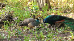 Indian couple Peafowl or Peacock stand and walking on the ground Stock Footage