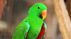 "Eclectus parrot, Scientific name ""Eclectus roratus"" bird Stock Footage"